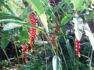 Heliconia, of which we have a half dozen varieties.