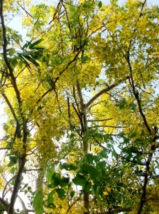 The Golden Showers trees, blooming all over Chiang Mai at this time. In Thai it is called Rajapreuk (The Royal Flora Tree).
