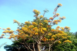 A rare Golden Flame Tree.