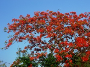 A Flame Tree, called Peacock Tail tree in Thai.