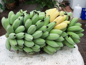 These are platanes which need to be cooked first. We have about 10 different kinds of bananas in our garden.