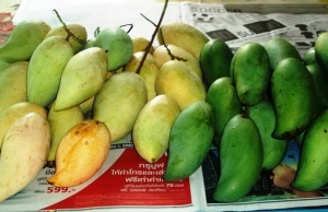 There are at least 50 varieties of Mangoes in Thailand. We have over 15 growing in our garden.